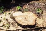 pień po klonie przy Krętej 188 cm obwodu