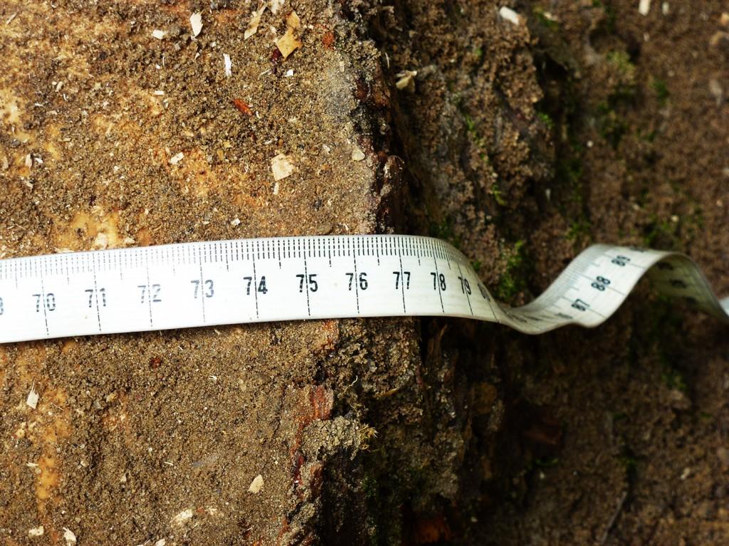 pomiar średnicy odkopanego pnia klonu przy Krętej
