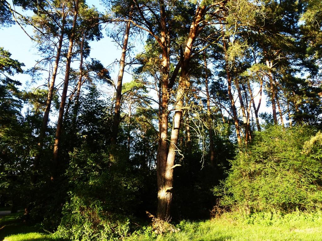 sosna przy Leśnym Ośrodku Szkoleniowym